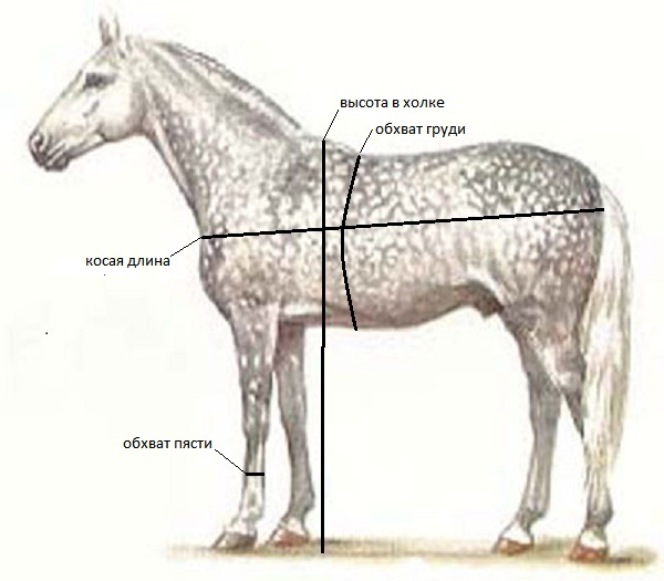 Промеры лошади, экстерьер лошади