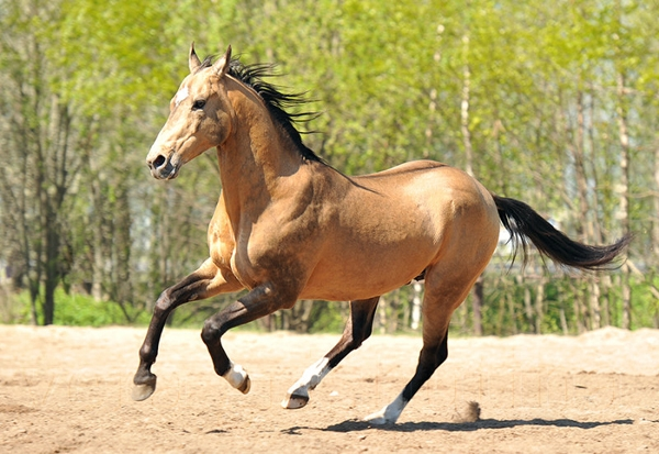 Ахалтекинец, ахалтекинская лошадь