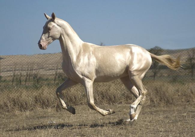 Ахалтекинец изабелловой масти, ахалтекинская лошадь