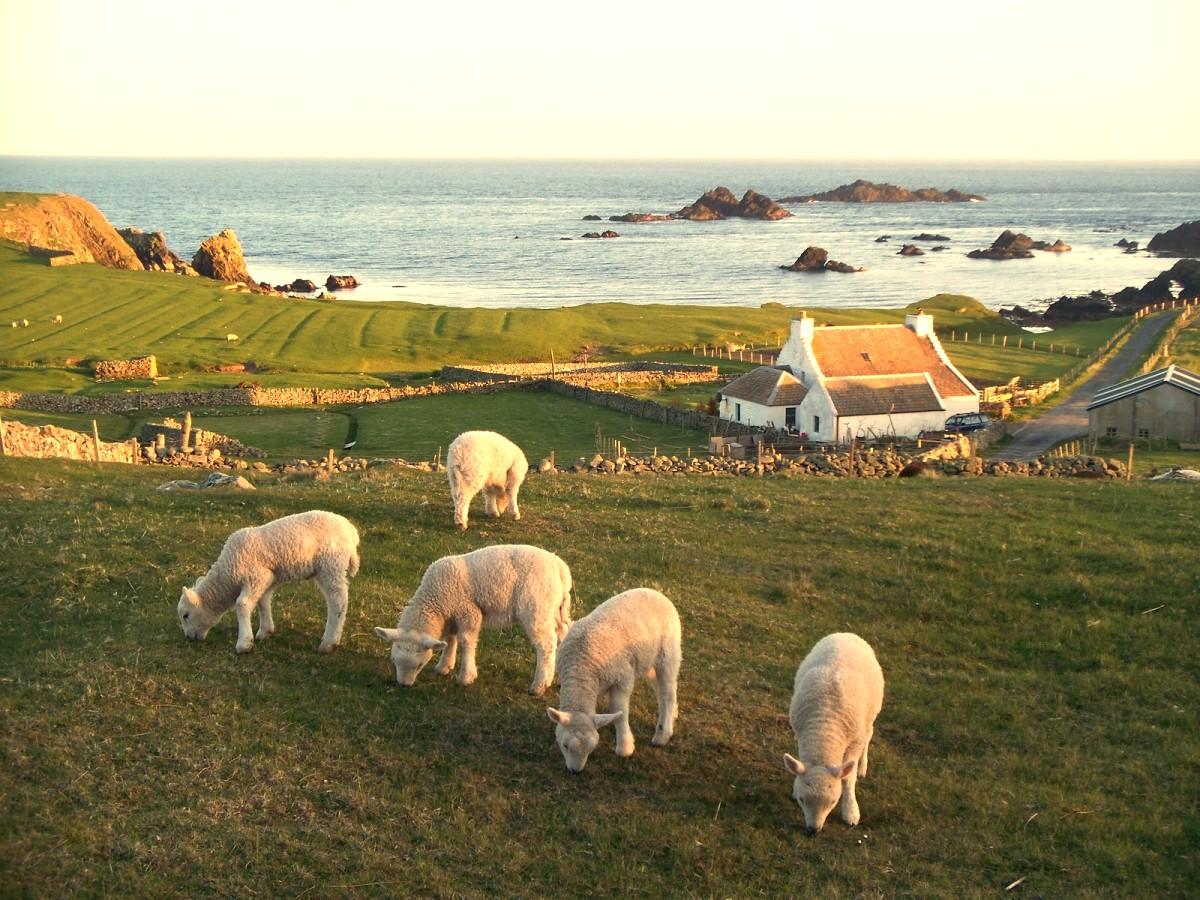 Шетлендские острова - родина Шетлендского пони